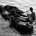 Washing cattle by Mark Smart
