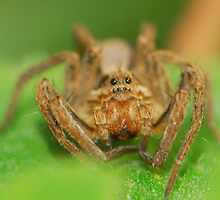 wolf spider's time by davvi