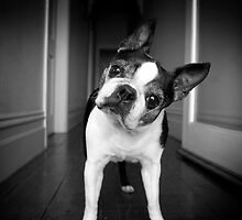Bailey Head Slant by d4dogphoto