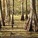 Cypress Swamp in Autumn by Linda Trine