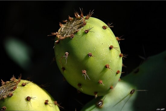 Prickly Pear by Robert Bertino