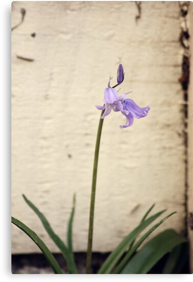 bluebell by Karen E Camilleri