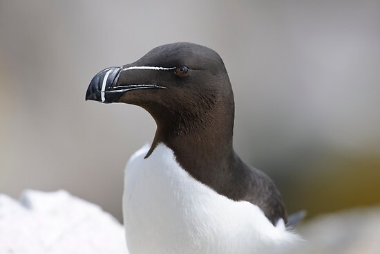 Razorbill portrait, Saltee Island, County Wexford, Ireland by Andrew Jones