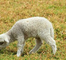 White Lamb in a Meadow by rhamm