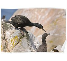Checking on the chicks, Cormorant, Saltee Islands, County Wexford, Ireland Poster