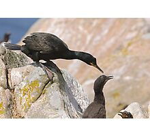 Checking on the chicks, Cormorant, Saltee Islands, County Wexford, Ireland Photographic Print