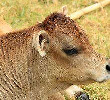 Face of a Calf by rhamm