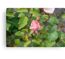 Rosey Canvas Print
