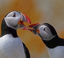 Atlantic Puffins by Rob Lavoie