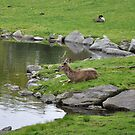 White tail deer by Adventures