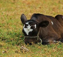 Calf Lying in a Pasture by rhamm