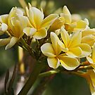 Yellow Frangipani by Sea-Change