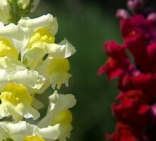 Snap Dragon 2 by GeorgiaConroy