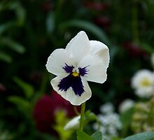 Pansies 3 by GeorgiaConroy