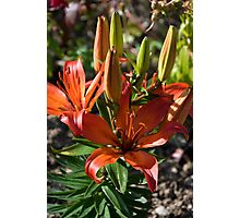 Lily 10 Photographic Print
