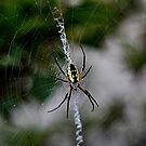 Black and Yellow Orb weaver by Colene Anderson
