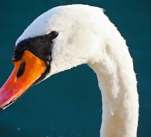 Swan by Matic Golob