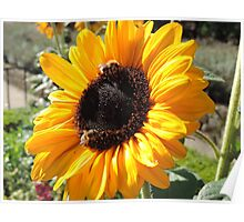 Bee Friendly Sunflower Poster