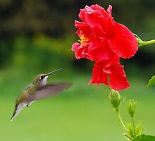 Ruby Throated Humming Bird/Hibiscus Flower 1 by Molly  Kinsey