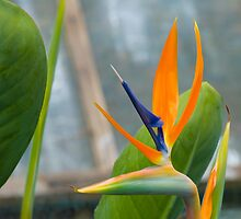 Bird of Paradise 8 by GeorgiaConroy