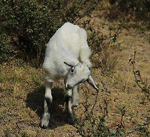 White Kid Goat by rhamm
