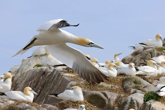 Fly by - Saltee Island, County Wexford, Ireland by Andrew Jones