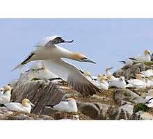 Fly by - Saltee Island, County Wexford, Ireland Photographic Print