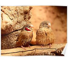 Pair of Cut Throat Finches  Poster