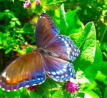 Red-spotted Purple Limenitis arthemis by MarianBendeth