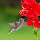 Ruby Throated Humming Bird/Hibiscus 2 by Molly  Kinsey