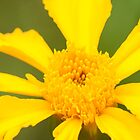 Sunshine - golden marigold by David  Moss
