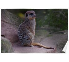 Meerkat on lookout Poster