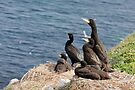 waiting for mum, cormorant chicks, Saltee Island, County Wexford, Ireland by Andrew Jones