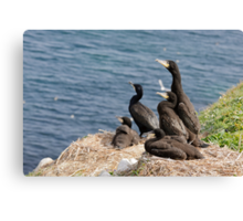 waiting for mum, cormorant chicks, Saltee Island, County Wexford, Ireland Canvas Print