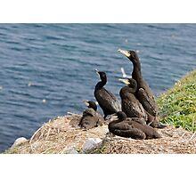 waiting for mum, cormorant chicks, Saltee Island, County Wexford, Ireland Photographic Print