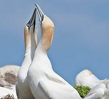 Gannets greeting, Saltee Island, County Wexford, Ireland by Andrew Jones