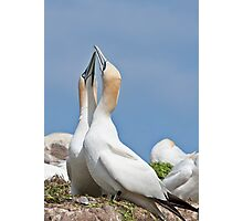 Gannets greeting, Saltee Island, County Wexford, Ireland Photographic Print