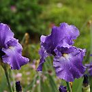 Irises in the Garden by RoomWithAMoose