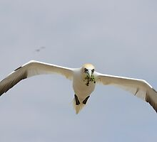 bringing nesting material, gannet in flight, Saltee Island, Ireland by Andrew Jones