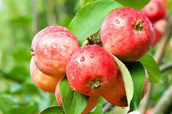 Apples by suomarja