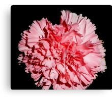 Pink carnation Aug 2011 Canvas Print