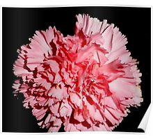 Pink carnation Aug 2011 Poster