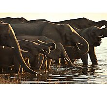 Elephants at the Chobe River, Botswana Photographic Print
