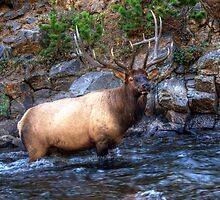 Bull Elk - Rocky Mountain National Park , Colorado by jphall