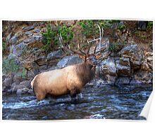 Bull Elk - Rocky Mountain National Park , Colorado Poster