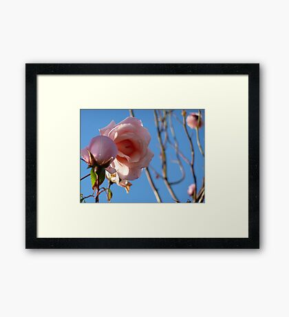 Pink roses fading in late summer. Framed Print