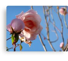 Pink roses fading in late summer. Metal Print