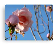 Pink roses fading in late summer. Canvas Print