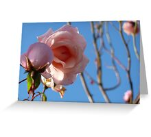 Pink roses fading in late summer. Greeting Card