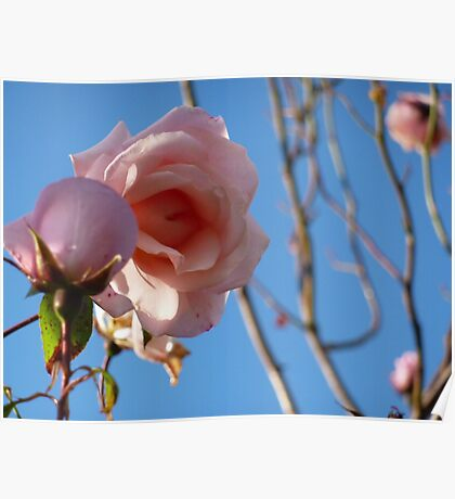 Pink roses fading in late summer. Poster